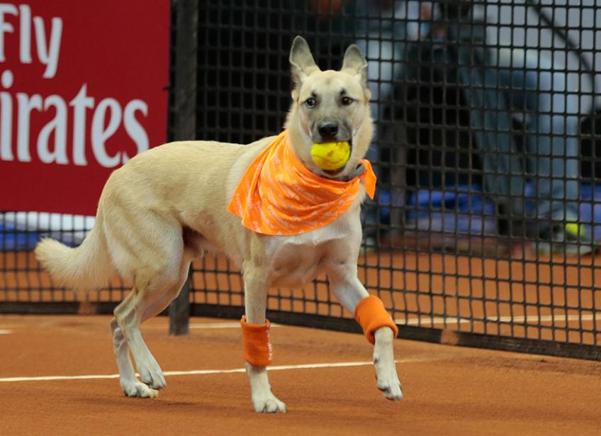 Dogs to replace ball boys at Champions Tennis tournament