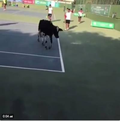 Incredible: a cow enters the court in an ITF event in India