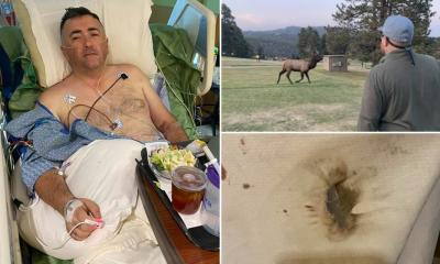 Elk gores man at golf course